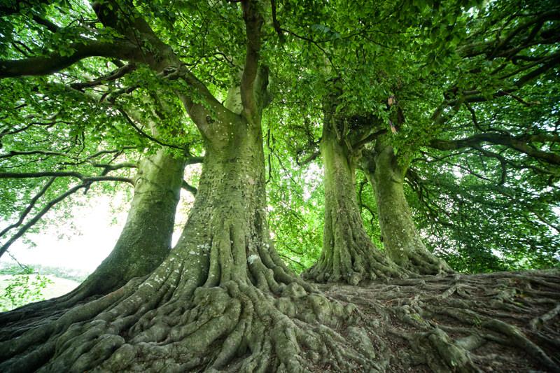 Feenbäume von Avebury, England